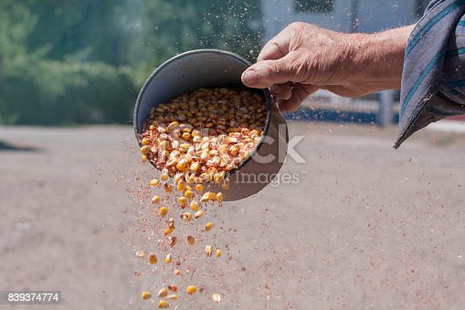 Wind winnowing corn. Close-up