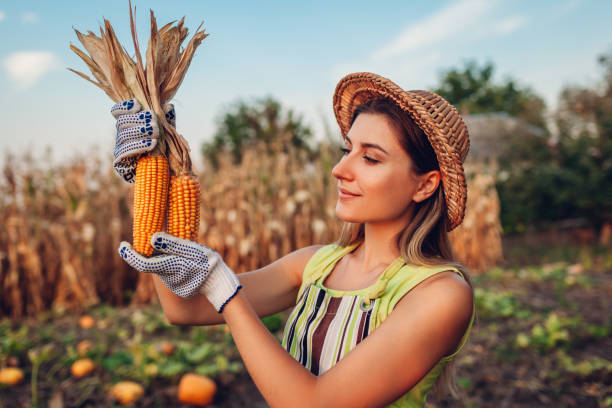 Corn. Young woman farmer picking corn harvest. Worker holding autumn corncobs. Farming and gardening