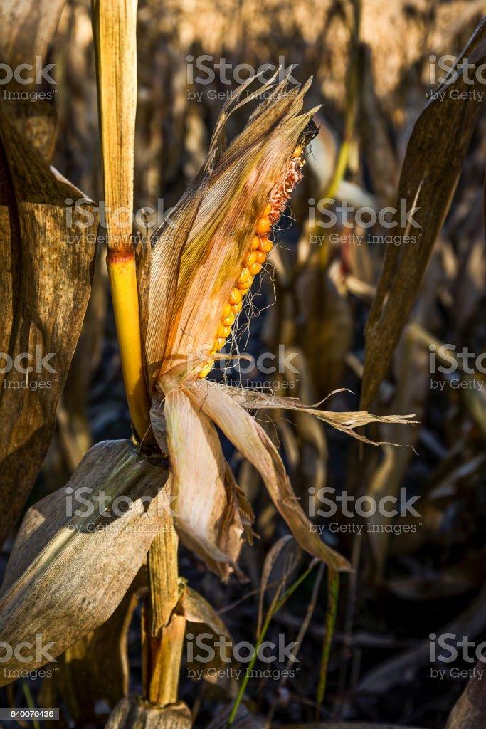 Corncobs stock photo