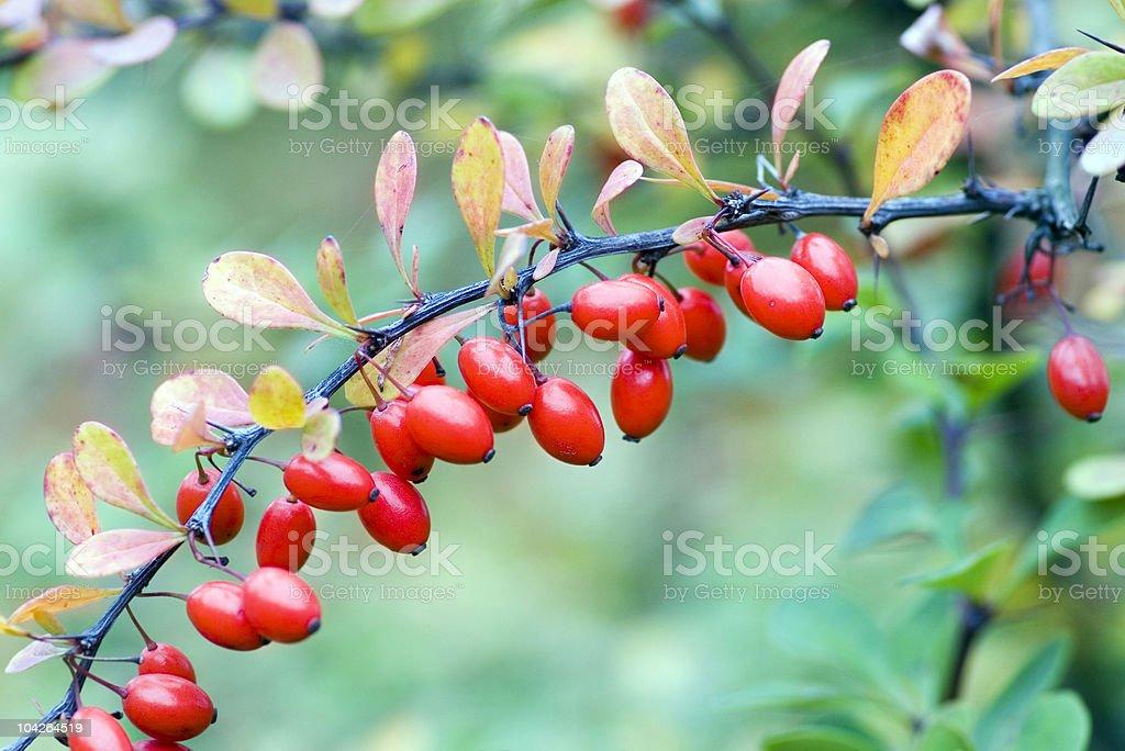 cornelian cherries on branch royalty-free stock photo