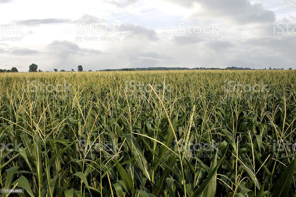 campo de maíz 3 foto de stock libre de derechos