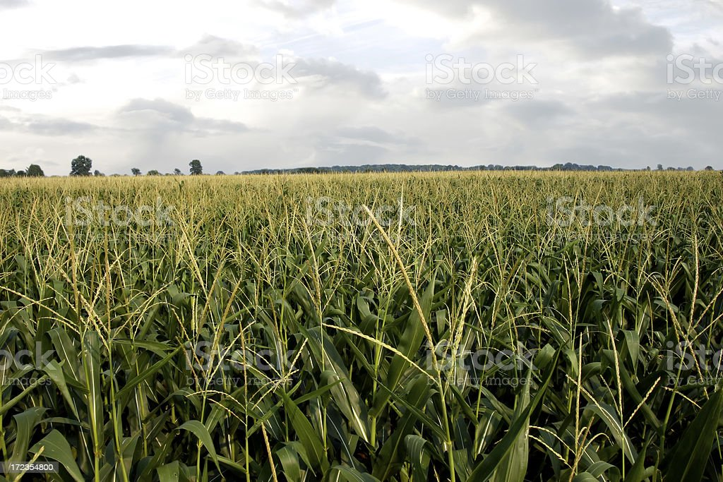 cornfield 3 royalty-free stock photo