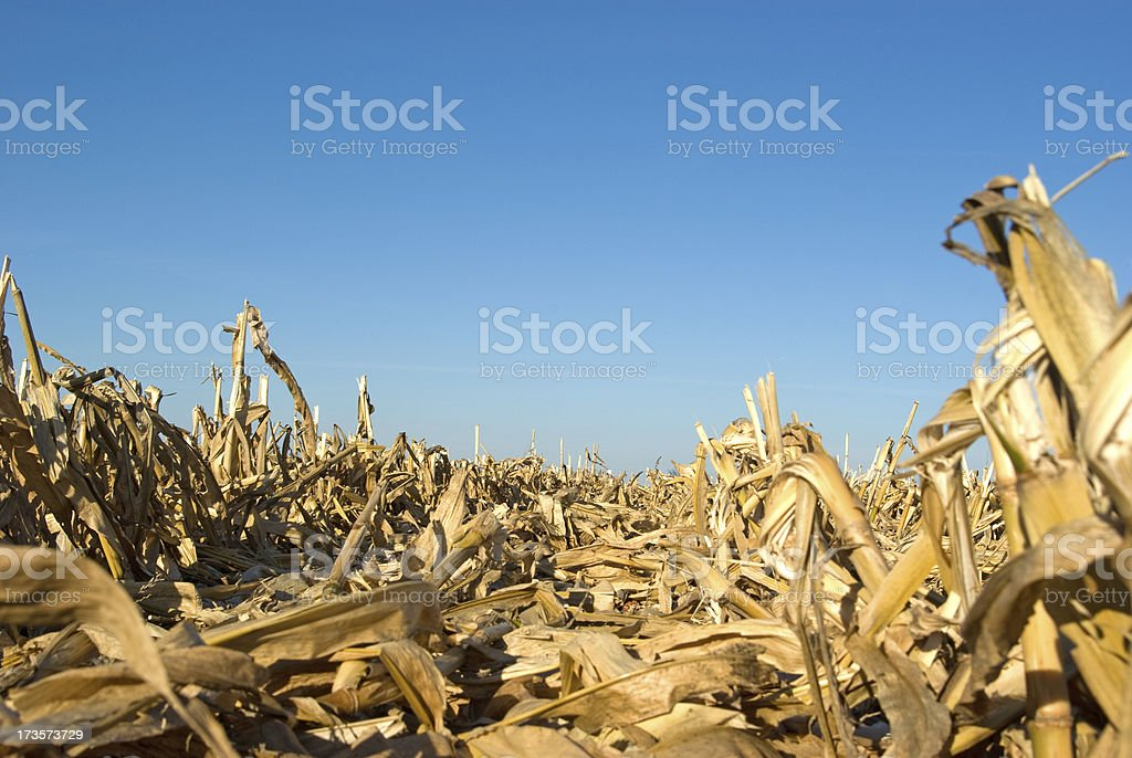 Cornfield After Combining royalty-free stock photo