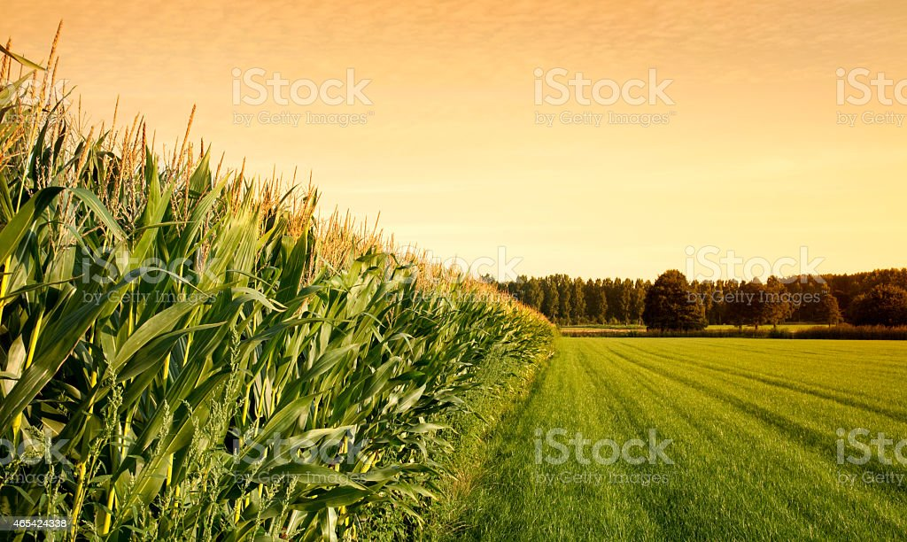 Cornfield at sunset adjacent to grassy field and woods stock photo