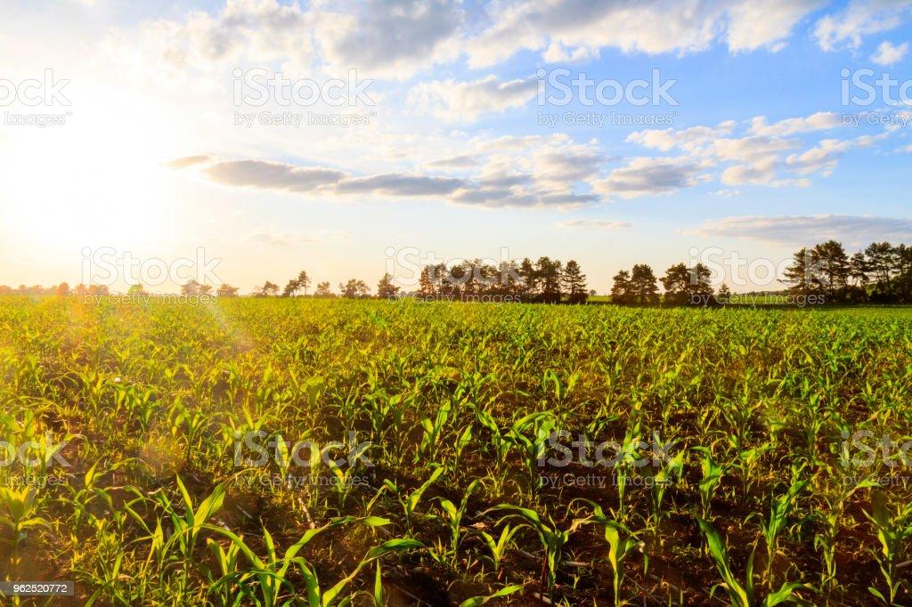 milharal ao pôr do sol na terra ecologicamente limpa - Foto de stock de Agricultura royalty-free