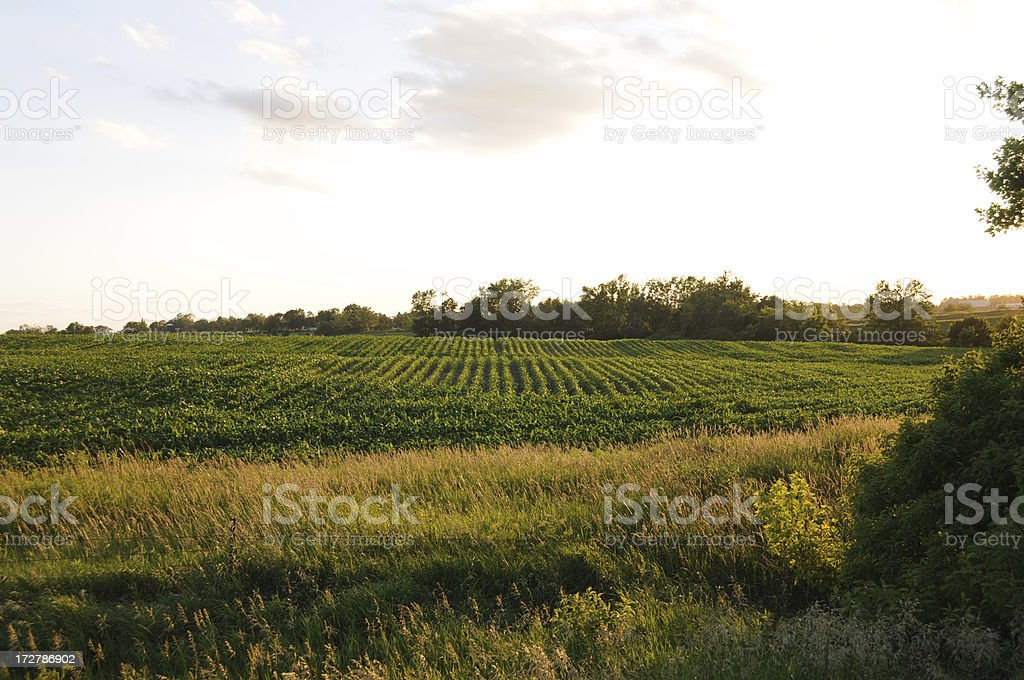 Cornfield at Sunset royalty-free stock photo