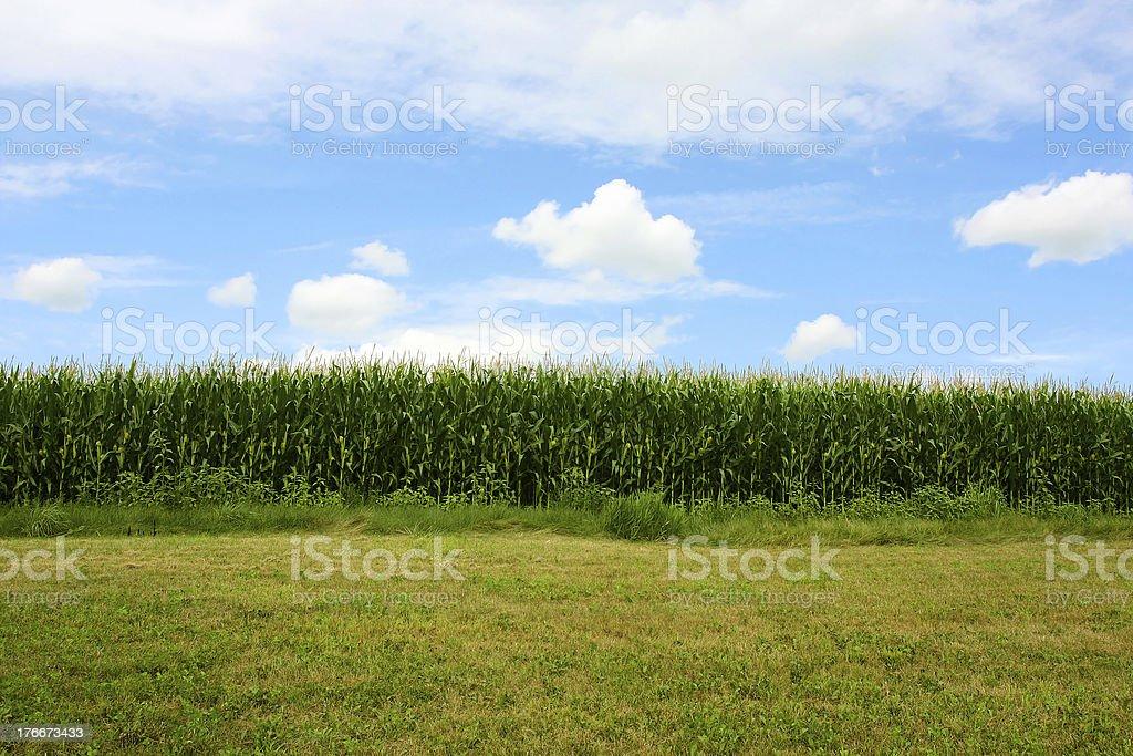 Cornfield en verano foto de stock libre de derechos