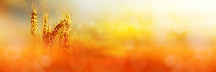istock Cornfield in sunlight 589563508