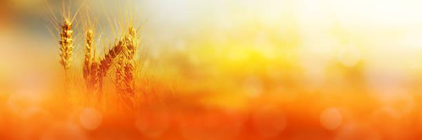 cornfield na światło słoneczne - zbierać plony zdjęcia i obrazy z banku zdjęć