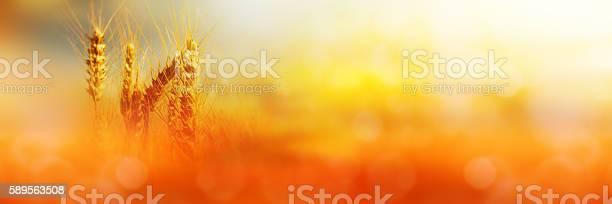 Rural scene of a Cornfield in sunlight
