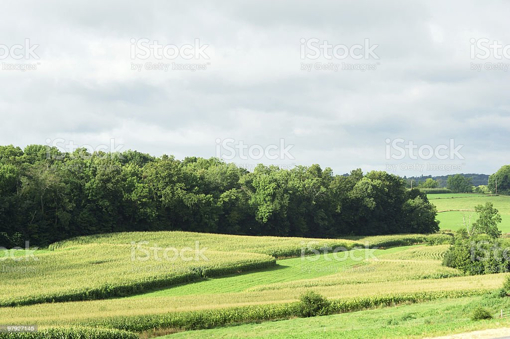 Cornfield in the Meadow royalty-free stock photo