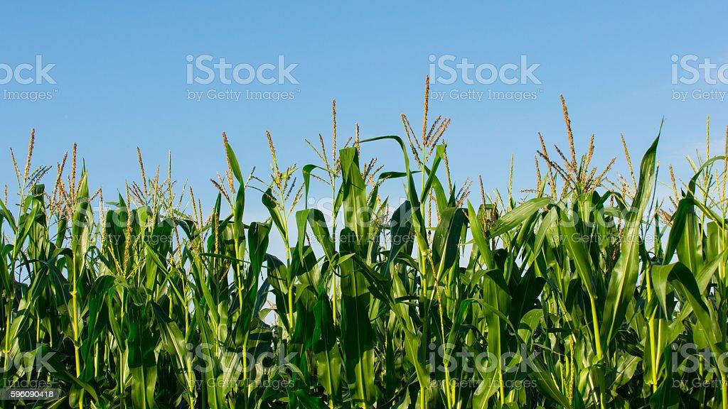 Cornfield on blue sky background royalty-free stock photo