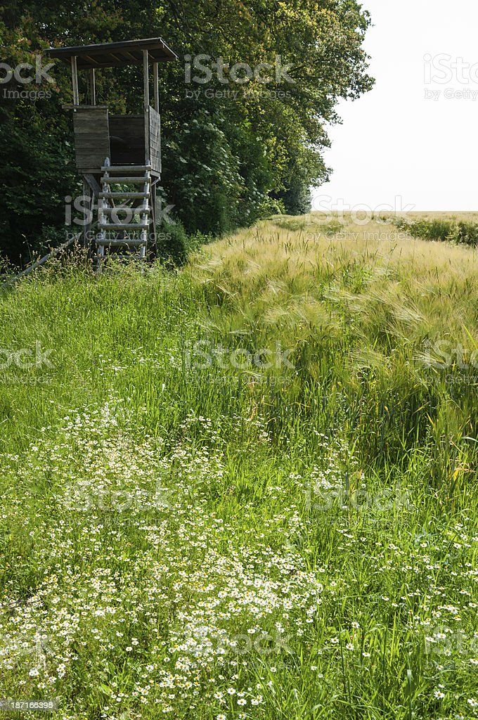 cornfield on the edge of forest stock photo
