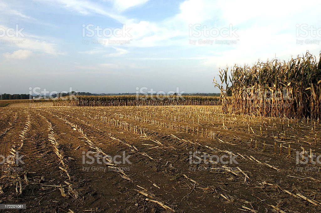 corn-field partial harvest royalty-free stock photo