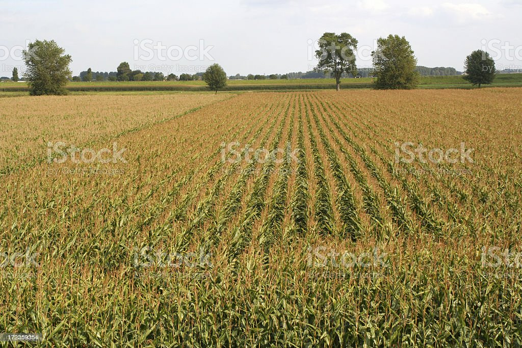 Cornfield # 6 royalty-free stock photo