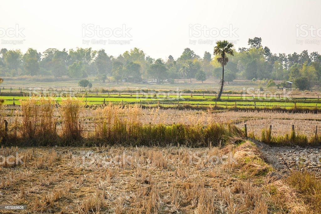 cornfield stock photo