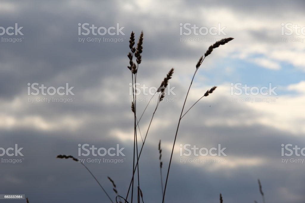 kornfeld royalty free stockfoto