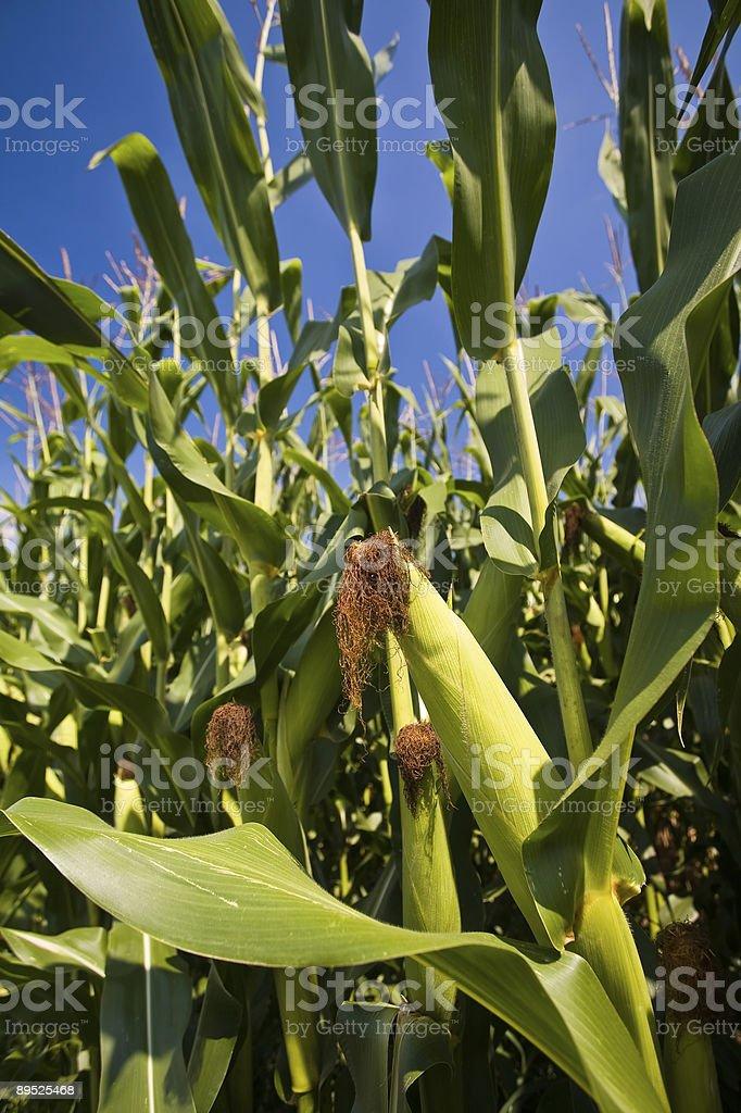 Cornfield 免版稅 stock photo