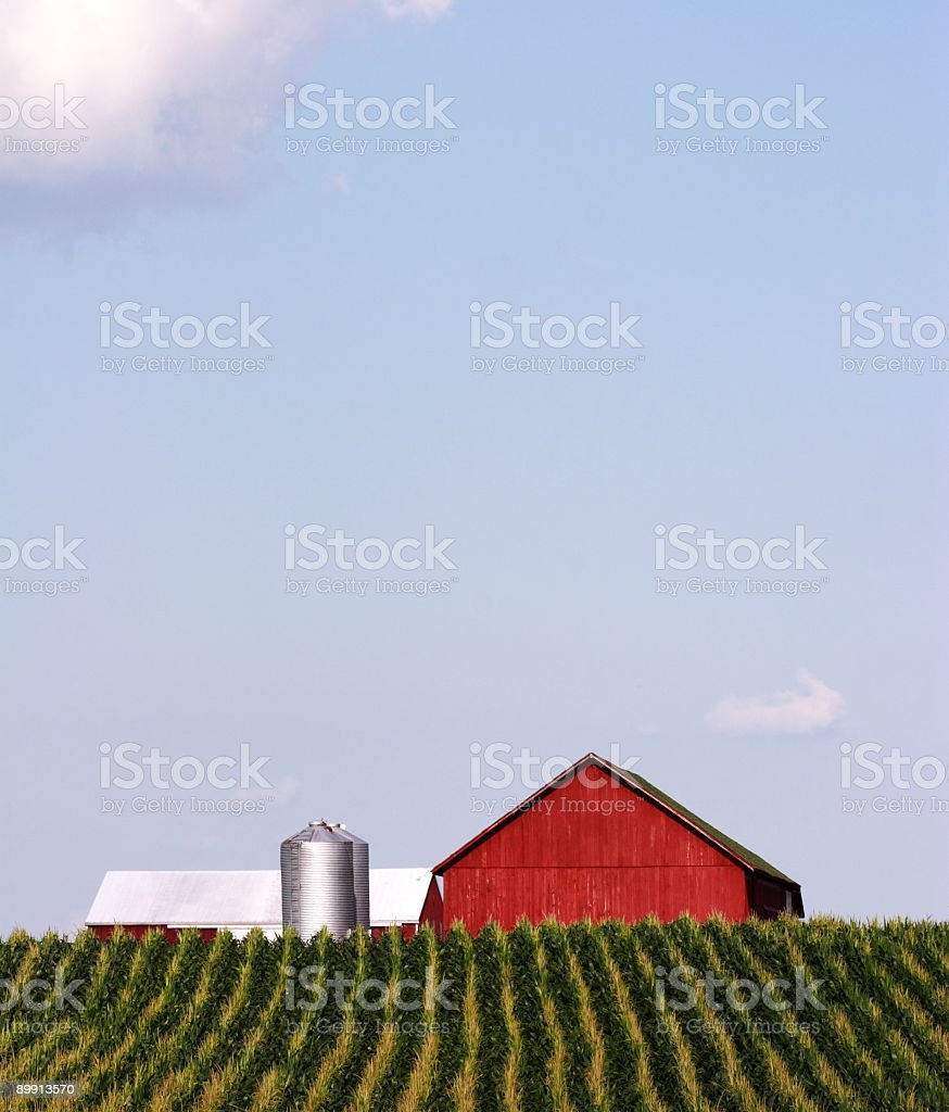 Cornfield royalty-free stock photo