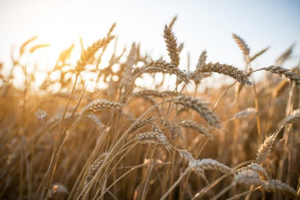 cornfield – Foto