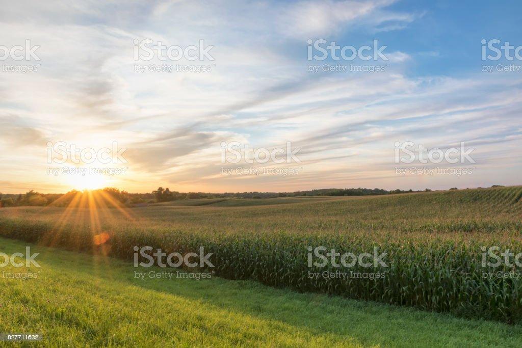 Campo de maíz listo para cosecha tardía por la tarde la luz, puesta del sol, Minnesota - foto de stock