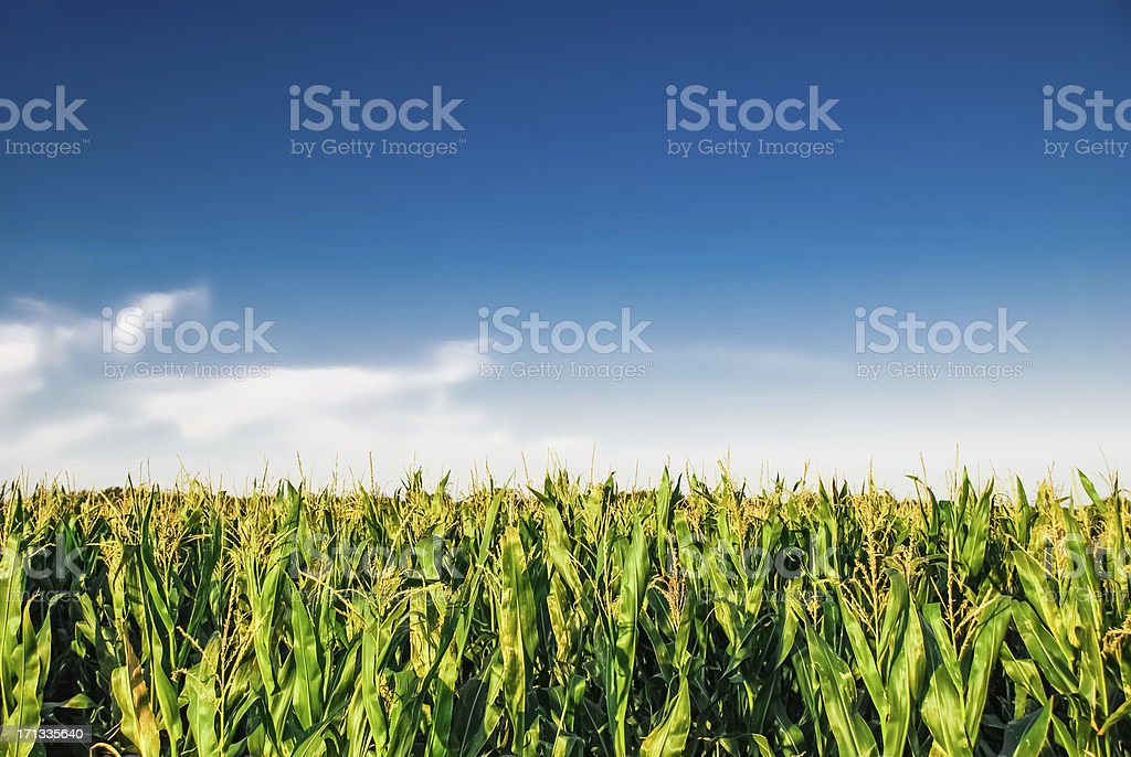 Cornfield with blue sky stock photo