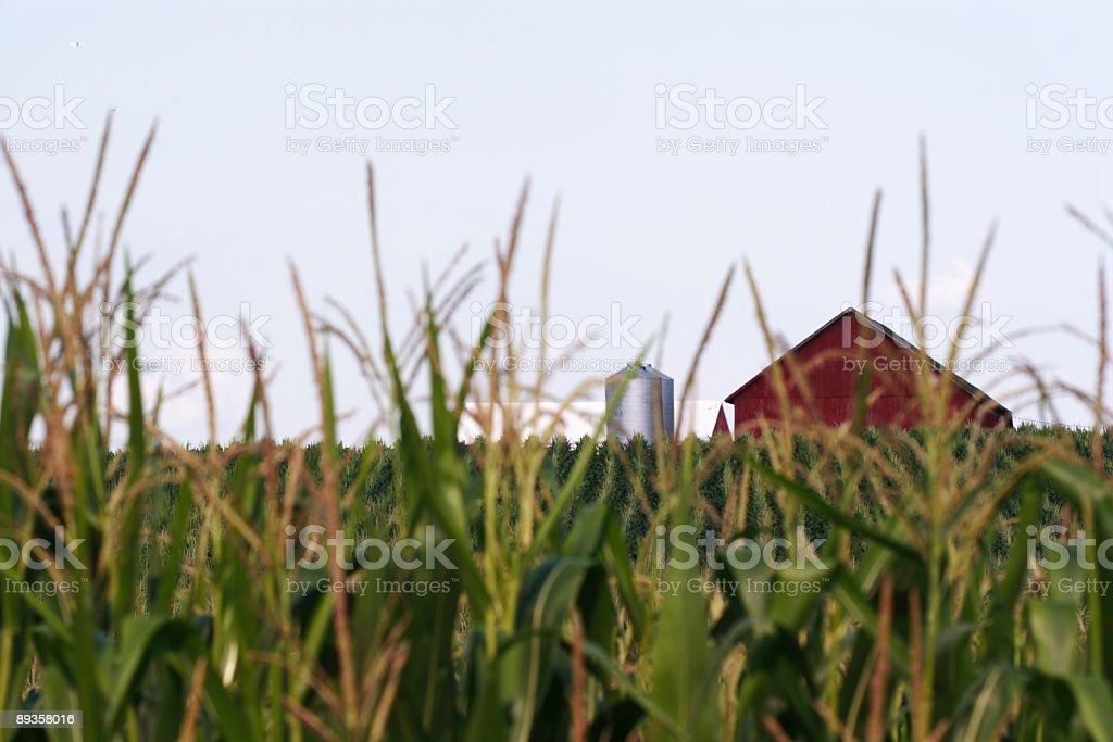 Cornfield with farm in background royaltyfri bildbanksbilder