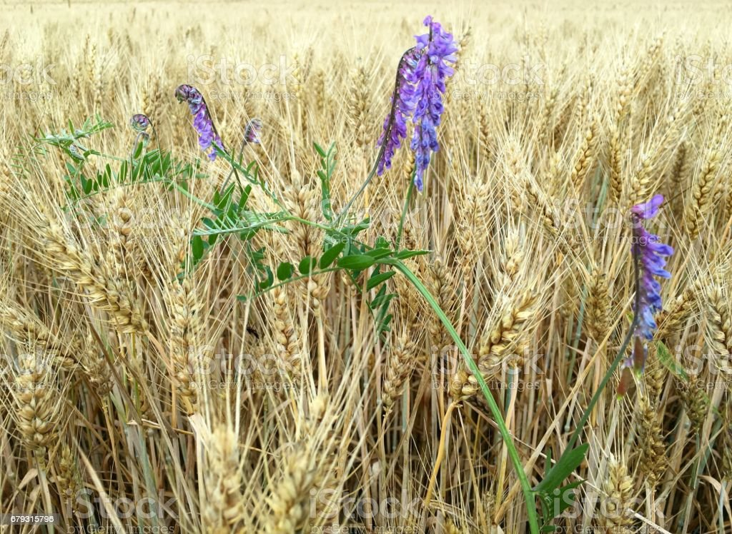 Cornfield with purple flowers royalty-free stock photo