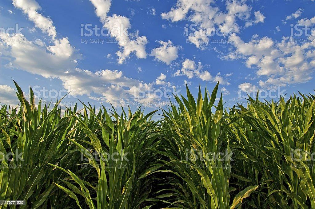 Cornfields and Sky royalty-free stock photo