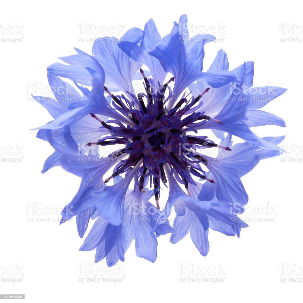 Cornflower blue on a white background stock photo