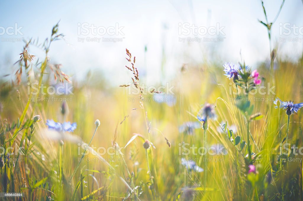 Cornflower [Centaurea cyanus] in summer on grainfield stock photo