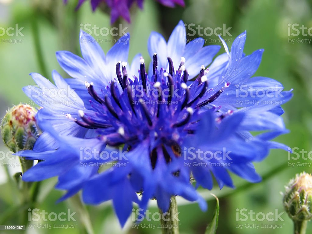 Cornflower close stock photo