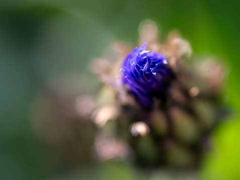Close up of a cornflower bud just opening focus is on the petals on the left.