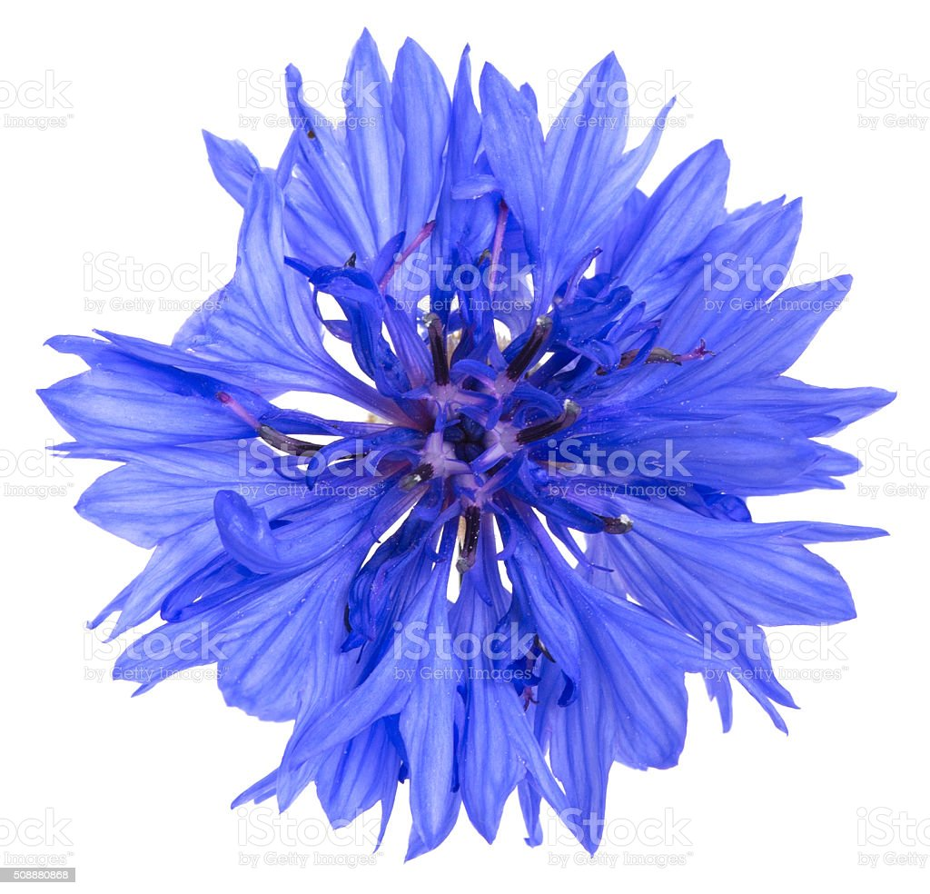 Cornflower, Cyanus segetum isolated on white background stock photo