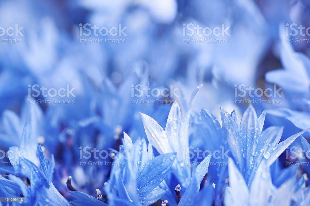 Cornflower defocused background stock photo