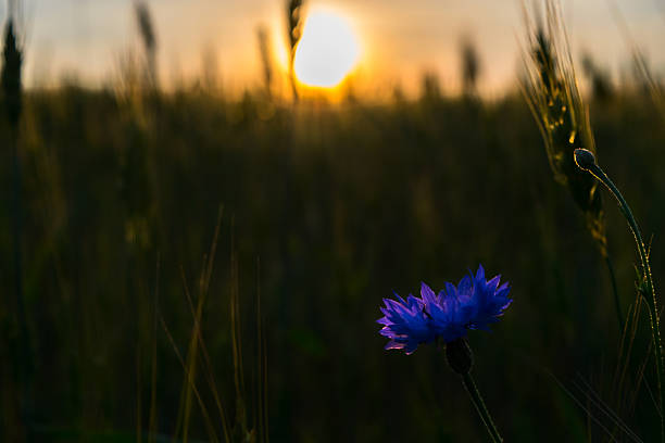 cornflower field ripening rye on sunset close-up, dark photo stock photo
