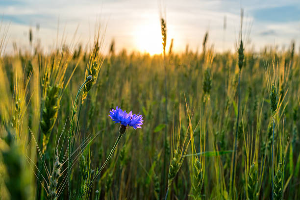cornflower field ripening rye on sunset stock photo