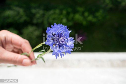 Colorful closeup photo. Cornflower flowers with green blurred background.