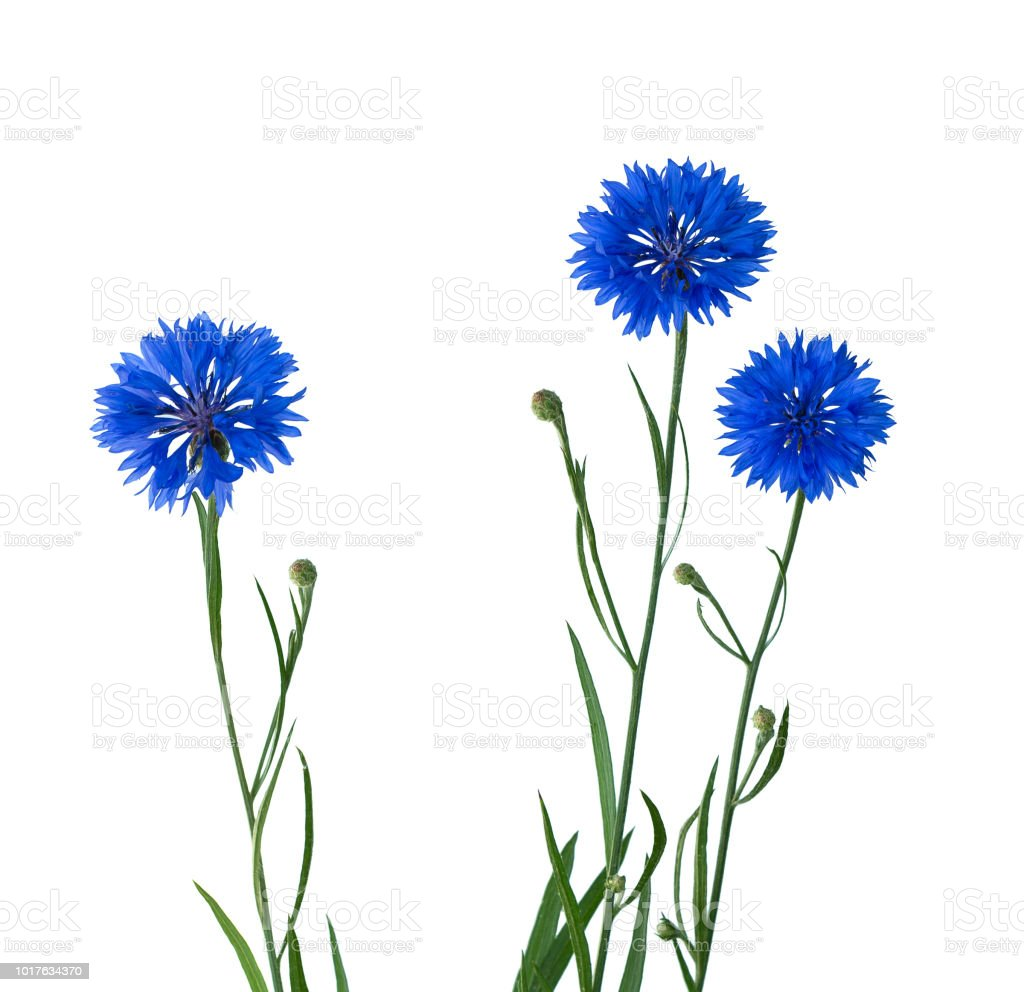 Cornflower Herb or bachelor button flower isolated stock photo