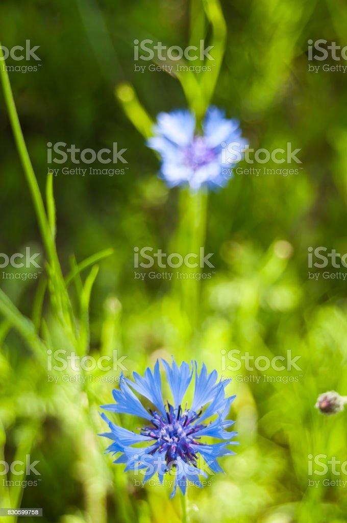 corn-flower in a field stock photo
