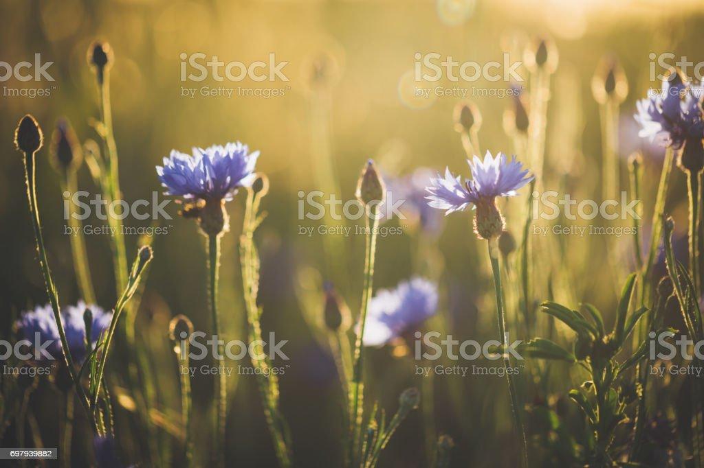 Bleuet en beau coucher de soleil contre la tombée de la nuit - Photo