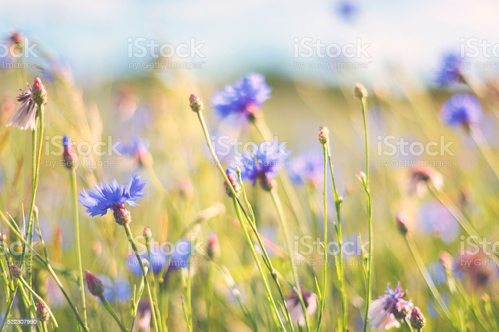 Cornflower in summer stock photo