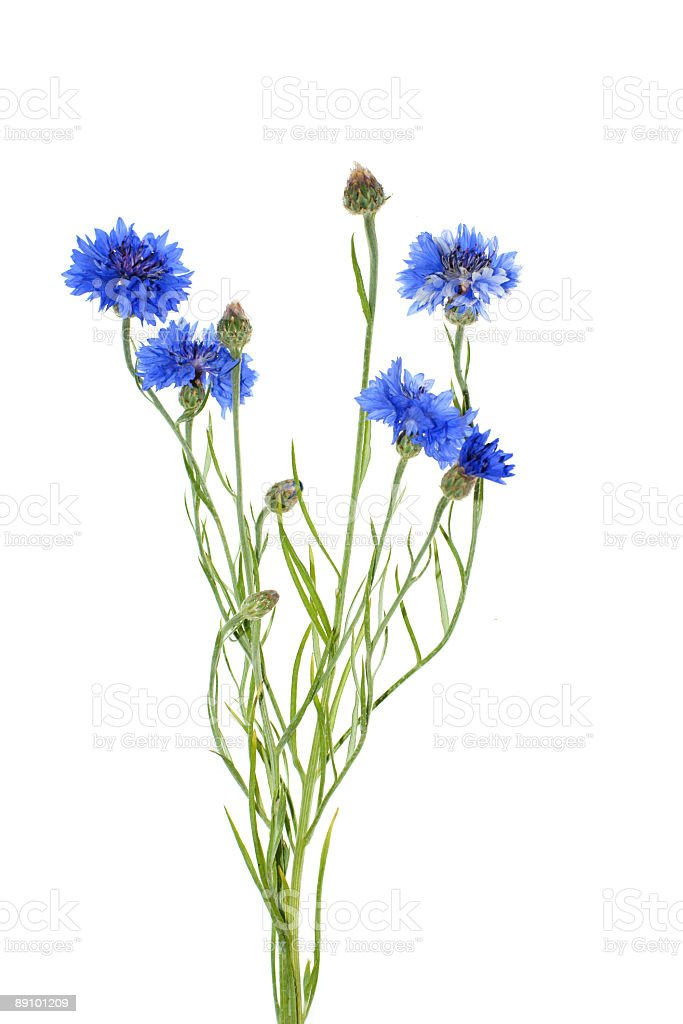Cornflower isolated on white background stock photo