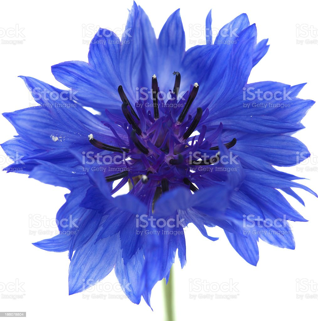 cornflower isolated stock photo
