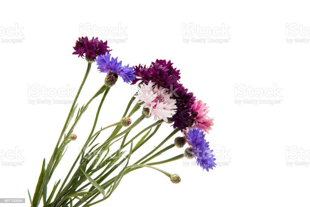 Cornflower isolated stock photo