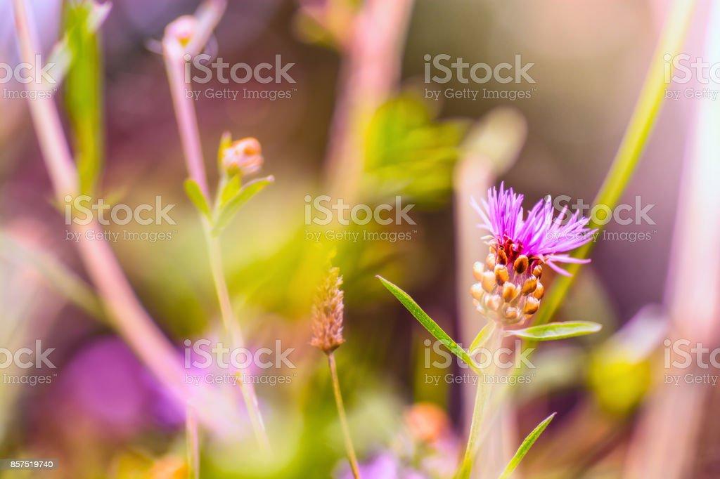 Cornflower meadow stock photo