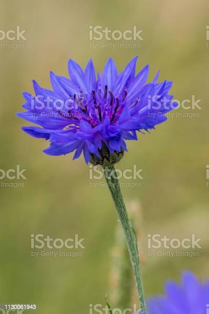 Cornflower picture id1130061943?b=1&k=6&m=1130061943&s=612x612&h=5mb0oavaoegz3arrfiu2oj6qdx8b97g7u8wqevi0wzg=