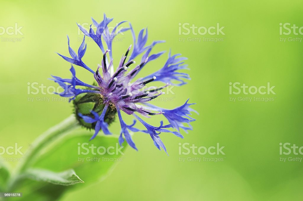 Cornflower (Centaurea cyanus) royalty-free stock photo