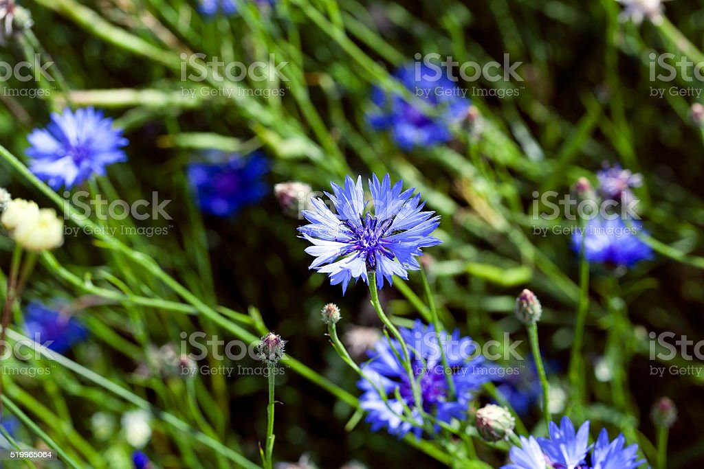 cornflower ,  summer. weed stock photo