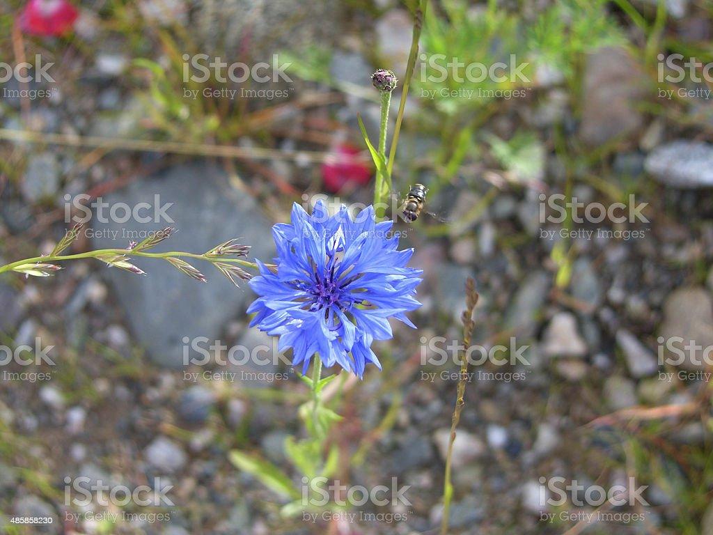 Cornflower with bee stock photo